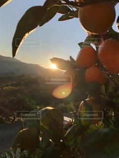 美しいミカンの朝の写真・画像素材[1180529]