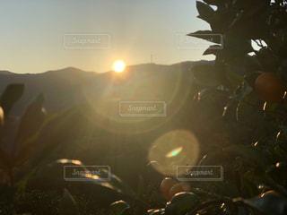 ミカンの朝の写真・画像素材[1180530]