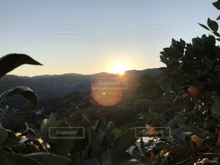 みかん山の朝の写真・画像素材[1180531]