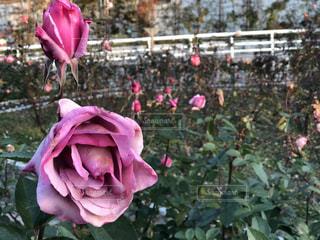 ピンクの花で一杯の花瓶 - No.1180612