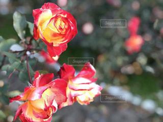 美しいバラの写真・画像素材[1180613]