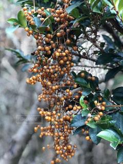 近くに果物が木からぶら下がっているをの写真・画像素材[1180616]