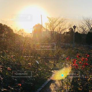 バラと朝日と風車の写真・画像素材[1180761]