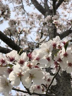 桜の写真・画像素材[1181143]