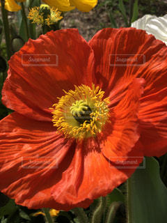 赤と黄色の花の写真・画像素材[1181144]