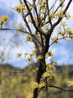 黄色の梅の写真・画像素材[1181149]