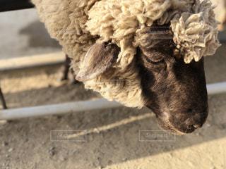 羊の写真・画像素材[1181223]
