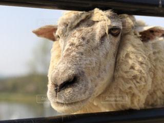 白羊の写真・画像素材[1181226]