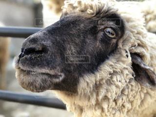 羊の写真・画像素材[1181231]