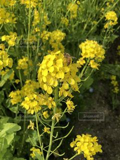 ミツバチの写真・画像素材[1181233]