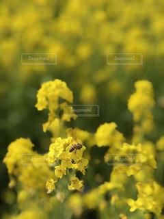 菜の花畑の写真・画像素材[1181236]