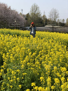 菜の花畑の写真・画像素材[1181237]
