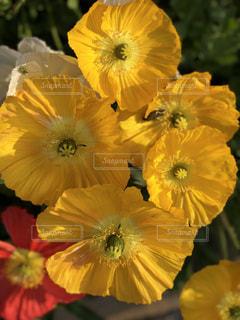 黄色の花の写真・画像素材[1181456]
