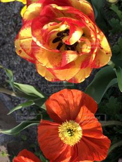 赤と黄色の花の写真・画像素材[1181457]