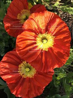 赤と黄色の花の写真・画像素材[1181459]