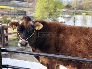 ワイヤー フェンスの横に茶色の牛立っての写真・画像素材[1181461]