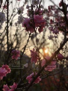 モモと夕日の写真・画像素材[1181463]