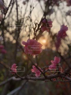 夕陽とももの写真・画像素材[1181465]