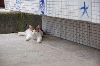 もふもふねこちゃんの写真・画像素材[1199485]