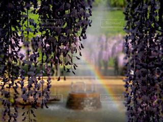 藤と噴水と虹。の写真・画像素材[1181919]