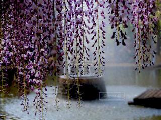 藤の花と噴水の写真・画像素材[1181920]