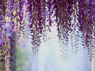 藤の花と光の写真・画像素材[1181921]