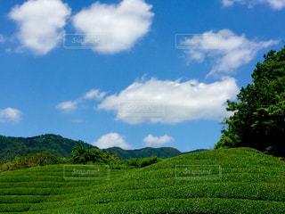 京都府和束町の茶畑。の写真・画像素材[1181992]