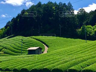 京都府和束町の茶畑。の写真・画像素材[1182003]