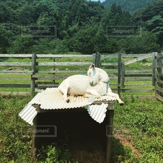 小屋の上でくつろぐヤギの写真・画像素材[1187818]