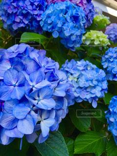 紫陽花の写真・画像素材[1203263]