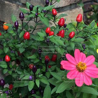 緑の葉と赤い花の写真・画像素材[1182910]