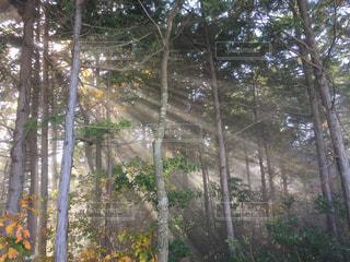 フォレスト内のツリーの写真・画像素材[1182914]