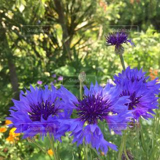 紫色の花一杯の花瓶の写真・画像素材[1185229]