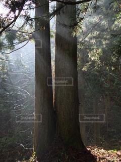 フォレスト内のツリーの写真・画像素材[1191117]