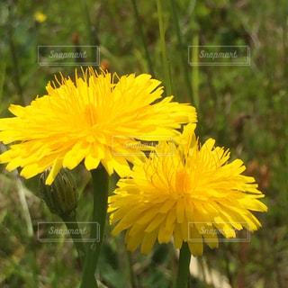 黄色の花の写真・画像素材[1192007]