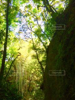フォレスト内のツリーの写真・画像素材[1196431]