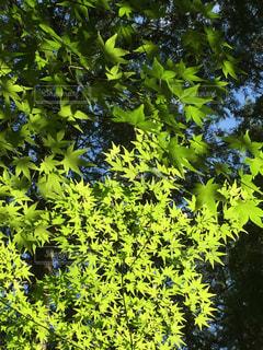 緑の葉にバナナの木の写真・画像素材[1200038]