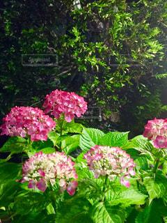 植物にピンクの花の写真・画像素材[1213690]