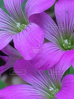 近くに紫の花のアップの写真・画像素材[1242260]
