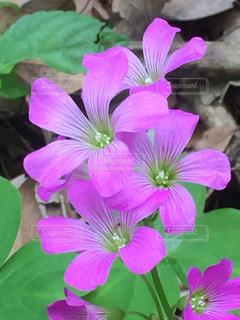 紫色の花一杯の花瓶の写真・画像素材[1242261]