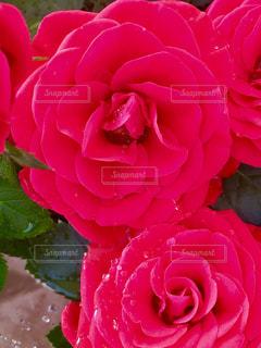近くの花のアップの写真・画像素材[1250799]