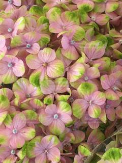 紫の花の束の写真・画像素材[1252973]