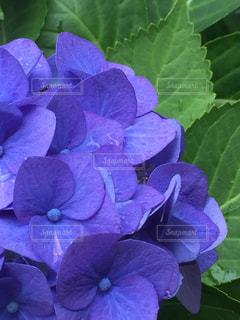 近くに紫の花のアップの写真・画像素材[1254400]