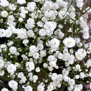 かすみ草の写真・画像素材[1582741]
