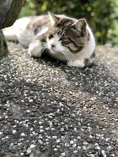 岩の上に横になっている猫の写真・画像素材[1600669]