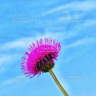アザミの花の写真・画像素材[2083070]