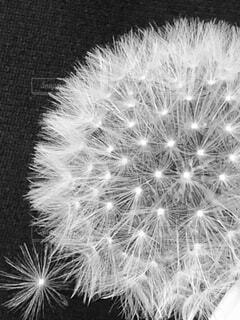 たんぽぽの綿毛わたげの写真・画像素材[3926611]