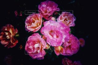 薔薇の写真・画像素材[1182894]