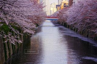 目黒川に散る桜の写真・画像素材[1191055]
