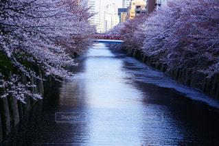 目黒川に散る桜の写真・画像素材[1191056]